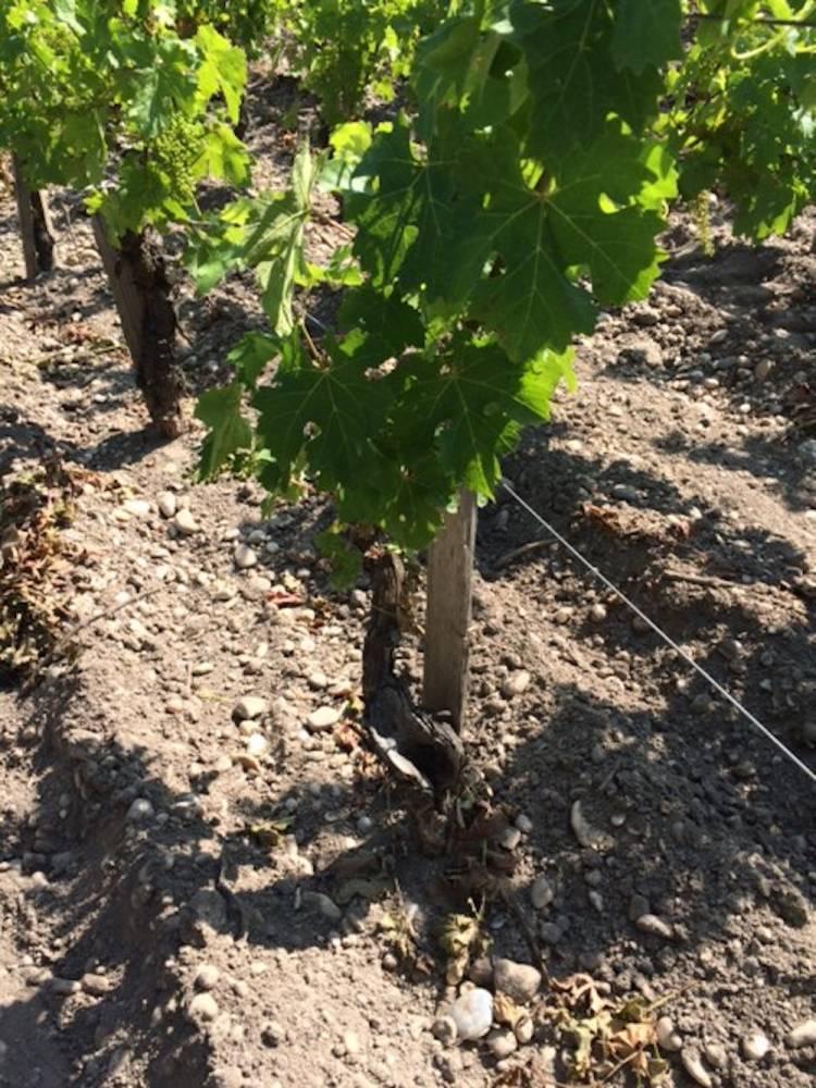Cep de vigne affecté par l'esca, un an après curetage. ©  DR