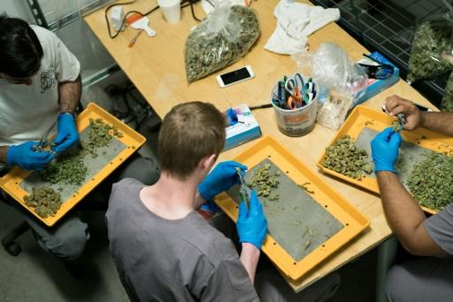 Mike Piesto (G), Joe Lewis (C) et Rodrigo Alarcon travaillent sur les plantes de marijuana à Washington DC le 20 avril 2016 © Brendan Smialowski AFP