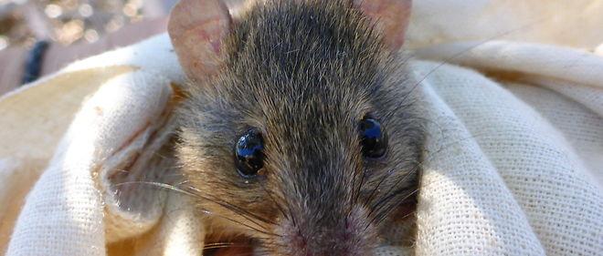 Ce petit rongeur est le premier mammifère qui disparaît à cause du réchauffement climatique.