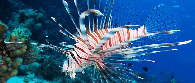 Le poisson-lion, une espèce envahissante ici observée en mer Rouge, pourrait se développer en Méditerranée.
