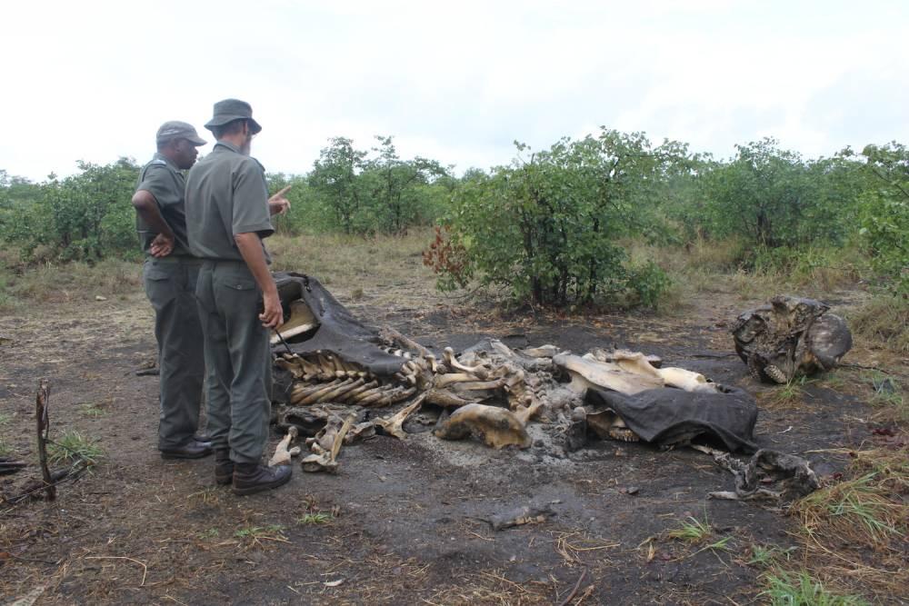 Les rangers observent une autre carcasse d'éléphant. Ce pachyderme a été abattu deux mois auparavant, son estomac a été tiré hors de ses flancs par les braconniers, pour accélérer son agonie. ©  Lizza Fabian