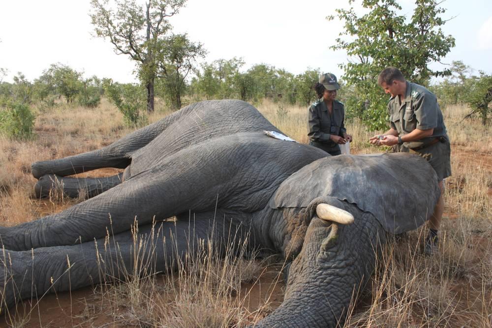 Le vétérinaire réalise des prélèvements de sang, de tissus et de poils sur l'éléphant endormi. ©  Lizza Fabian