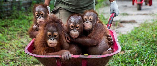 La fondation Borneo Orangutan Survival recueille des orang-outans orphelins. L'objectif est de leur apprendre à survivre dans les conditions naturelles avant de les relâcher.