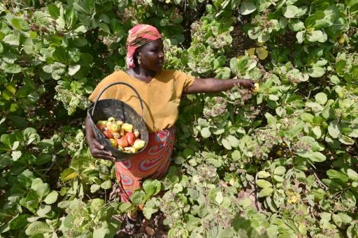 En Afrique, il faut miser sur l'agriculture à petite échelle, qui préserve la biodiversité et l'agriculture familiale © SIA-KAMBOU AFP/Archives