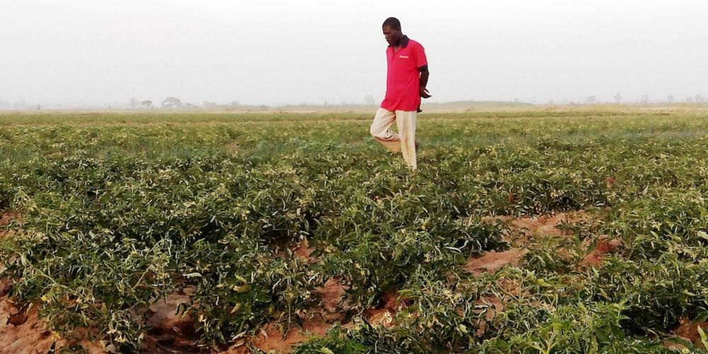 Un agriculteur dans son champ de tomates dans les domaines irrigués de Kadawa, au nord du Nigeria, près de Kano, en janvier 2015.   ©  AFP PHOTO