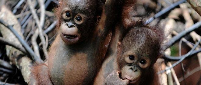 """Deux orangs-outans orphelins accueillis dans """"l'école de la jungle"""", une zone protégée en Indonésie, pour leur apprendre la vie sauvage et tenter de les sauver."""