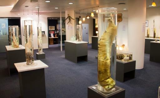 286 spécimens biologiques sont exposés au musée du phallus à Reykjavik en Islande, le 27 octobre 2016 © Halldor KOLBEINS AFP/Archives