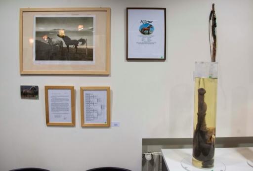 """Les pénis du musée du phallus de Reykjavik sont conservés """"marinés"""" ou """"séchés"""" et exposés au public avec quelque 350 oeuvres d'art © Halldor KOLBEINS AFP/Archives"""