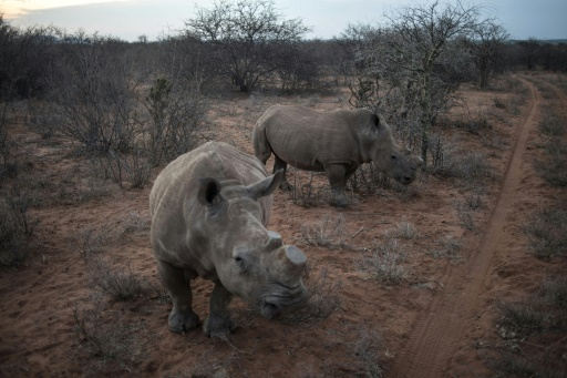 Des rhinocéros   décornés dans la réserve du Kuduland le 10 novembre 2016 dans la région de Musina en Afrique du Sud  © MUJAHID SAFODIEN AFP/Archives