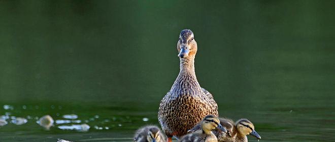 Les anatidés, c'est-à-dire les canards, les oies et les cygnes, sont les espèces les plus touchées par le virus H5N8.