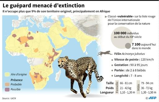 Le guépard menacé d'extinction © Valentina BRESCHI, Simon MALFATTO AFP