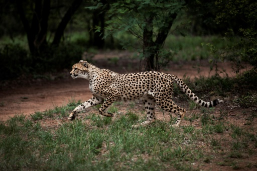 Un jeune guépard mâle dans l'enclos du Centre De Wildt / Ann Van Dyk pour les guépards qui en accueille une centaine, à Hartbeespoort dans la banlieue de la capitale sud-africaine Pretoria, le 30 décembre 2016 © JOHN WESSELS AFP