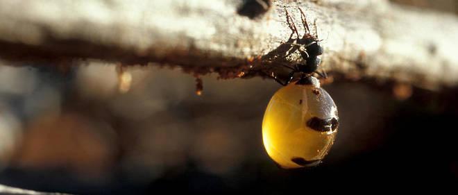 Les fourmis doivent redoubler d'inventivité pour ravitailler la colonie.