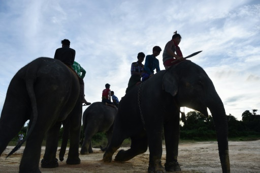 Le nombre d'éléphants sauvages a été divisé par deux en moins d'une décennie en Birmanie © YE AUNG THU AFP/Archives