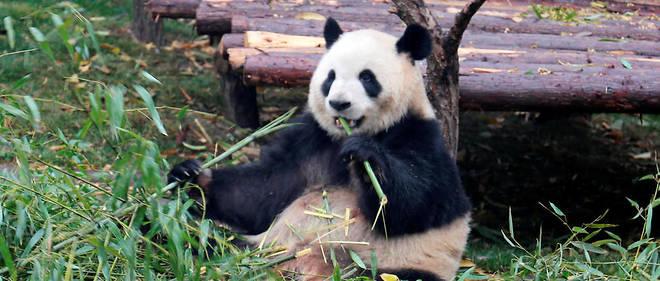 D'après les naturalistes, les oreilles noires du panda seraient un signe de férocité, tandis que la tache autour des yeux pourrait leur permettre de s'identifier.