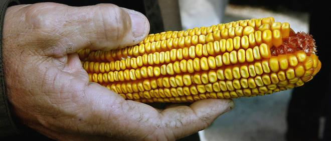 Un épi de maïs génétiquement modifié entre les mains d'un agriculteur à Lugos, en France, en novembre 2006.