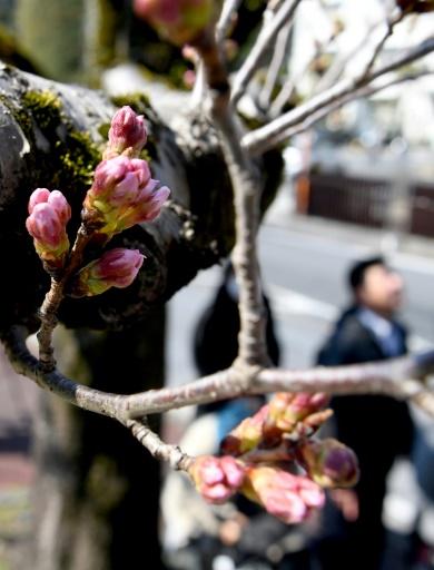 Malgré des années de pratique, prédire la floraison n'est pas une science exacte, car une averse peut ruiner les délicates fleurs en devenir, tandis qu'une soudaine vague de froid peut retarder de quelques jours leur apparition. © Toshifumi KITAMURA AFP