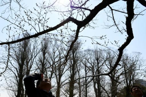 """""""Nous les observons attentivement afin de ne pas rater l'ouverture d'un bourgeon et dès qu'il y en a cinq, six ou plus dans ce cas, nous annonçons officiellement le début de la saison"""", explique M. Nishii de l'Agence météorologique nationale japonaise. © Toshifumi KITAMURA AFP"""