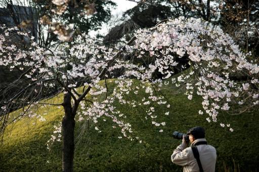 Partout, la même fièvre s'empare des Japonais, qui se pressent en foule dans les parcs pour pique-niquer sous les cerisiers en fleurs et les contempler. © Behrouz MEHRI AFP