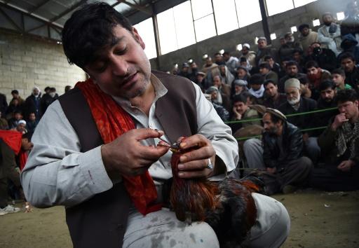Un Afghan soigne son coq de combat blessé, le 24 février 2017 dans une arène près de Kaboul © WAKIL KOHSAR AFP