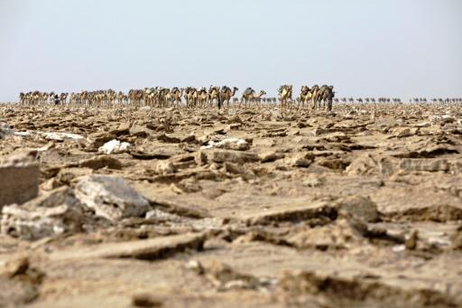 Une caravane de chameaux entre dans la mine de sel de la dépression du Danakil, le 28 mars 2017 en Ethiopie © ZACHARIAS ABUBEKER AFP