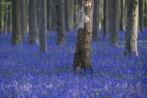 Si la forêt de hêtres, plantée après la Première Guerre mondiale, a moins d'un siècle, il a fallu des centaines d'années pour que les jacinthes bleues parviennent à recouvrir un tel espace. © JOHN THYS AFP/Archives