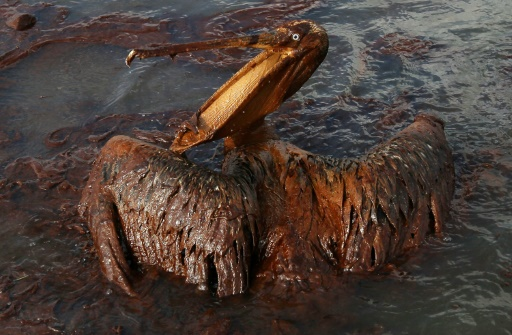 Le 4 juin 2010, en Louisiane, un pélican est encore couvert de pétrole après l'explosion en avril de la plate-forme offshore DeepWater Horizon qui avait provoqué une marée noire sur 180.000 kilomètres carrés dans le golfe du Mexique © WIN MCNAMEE GETTY IMAGES NORTH AMERICA/AFP/Archives