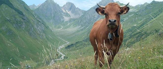 Les vaches marron broutent-elles du cacao ?