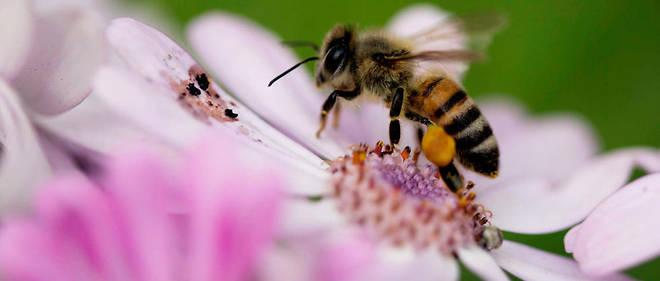 En France, l'Unaf (syndicat des apiculteurs) observe un taux de mortalité de 30 % dans les ruchers.