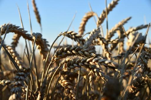 Champ de blé le 2 août 2016 à Gacé (Orne) © JEAN-FRANCOIS MONIER AFP/Archives