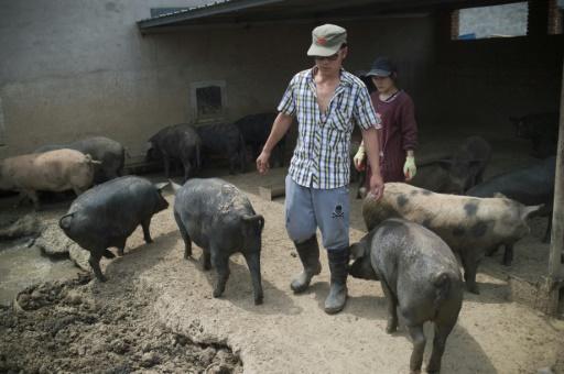 Un élevage de cochons noirs, le 5 juin 2017 dans la banlieue de Pékin, en Chine © NICOLAS ASFOURI AFP