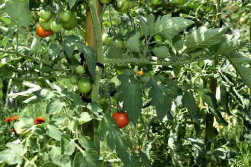 La ville d'Albi dans le Tarn, s'est fixée l'objectif d'atteindre l'autosuffisance alimentaire à l'horizon 2020, grâce notamment à des jardins partagés installés dans la ville © REMY GABALDA AFP