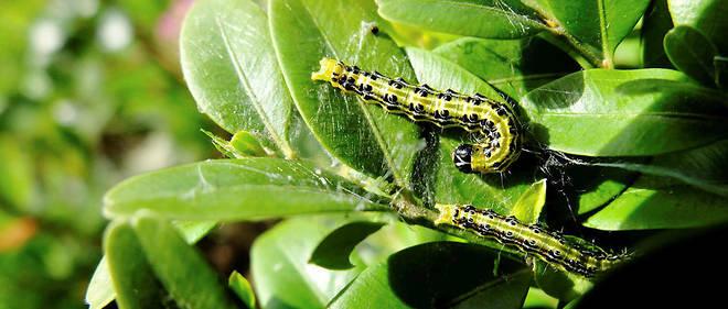 """Chenille verte à tête noire, la """"Cydalima perspectalis"""" mesure 4 centimètres à peine. Cette espèce peut saccager un département en deux mois."""