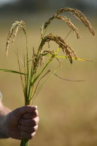Du riz cultivé par l'agriculteur Bernard Poujol, à Saint-Gilles, dans le Gard © SYLVAIN THOMAS AFP