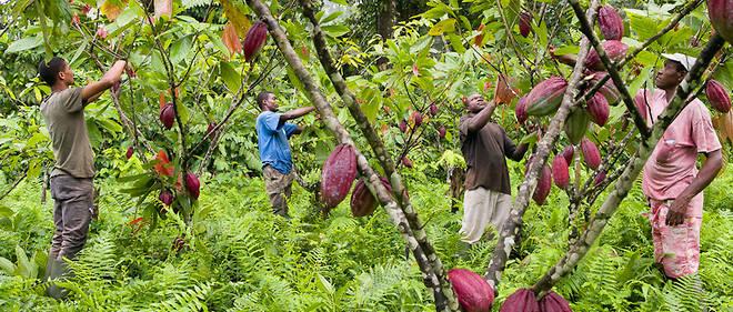 Un champ de cacao avec des cacaoculteurs de la Satocao.