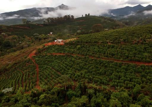 Plantations de café à Forquilha do Rio, dans la commune de Dores do Rio Preto, au Brésil, le 24 novembre 2017 © MAURO PIMENTEL AFP