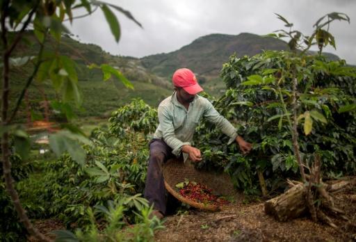 Récolte du café à Forquilha do Rio, dans la commune de Dores do Rio Preto, au Brésil, le 23 novembre 2017 © MAURO PIMENTEL AFP