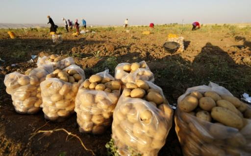 Récolte de pomme de terres dans un champ près de Mossoul, en Irak, le 24 juin 2014 © KARIM SAHIB AFP/Archives