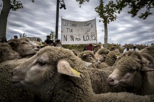 Des éleveurs de brebis manifestent contre le loup, le 9 octobre 2017 à Lyon © JEAN-PHILIPPE KSIAZEK AFP/Archives