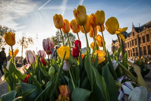 Tulipes le 11 avril 2017 à Amsterdam, où leur commerce avait donné lieu à une spéculation débridée au 17ème siècle © Aurore Belot AFP/Archives