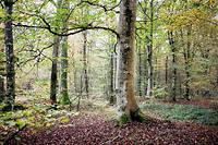 Foret de la region des Dombes, departement de l'Ain.Hetre, bois, sylviculture. ©Stephane AUDRAS/REA