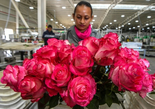 Une employée conditionne des roses pour la Saint-Valentin, à Tabio, département du Cundinamarca, en Colombie, le 1er février 2018  © Luis ACOSTA AFP
