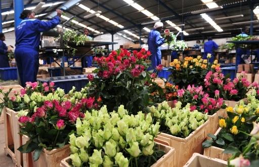Des travailleurs dans la ferme Maridaidi (Kenya) de Naivasha, préparent des roses qui vont être exportées en Europe pour la Saint-Valentin, le 12 février 2015 © SIMON MAINA AFP/Archives