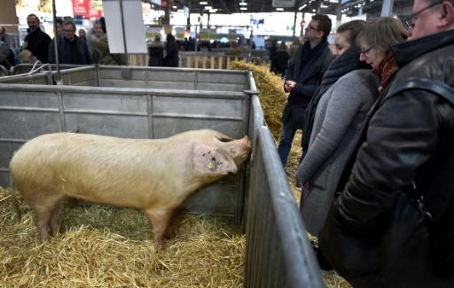 Un porc au salon de l'agriculture, à Paris, le 24 février 2018  © GERARD JULIEN  AFP