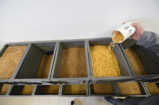 Un technicien vérifie le 13 mars 2018 les échantillons de grains au nouveau silo de céréales du groupe Soufflet au port de La Rochelle  Thanks to this new silo in the port, the French company will ship grains abroad, especially to Africa.  © Mehdi FEDOUACH AFP