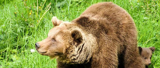 Le nombre d'ours est estimé à 39 dans les Pyrénées, selon les derniers chiffres officiels datant de 2016.