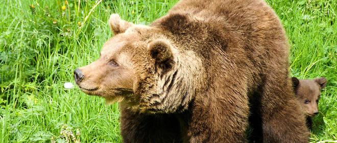 Nicolas Hulot a annoncé fin mars qu'il souhaitait réintroduire deux ourses dans les Pyrénées-Atlantiques afin d'assurer la pérennité de l'espèce (photo d'illustration)