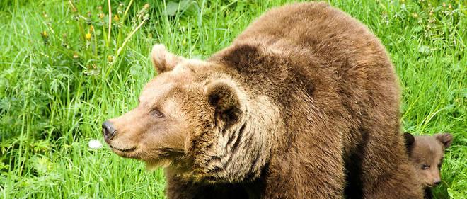 Selon un nouveau décompte officiel du Réseau Ours brun (ROB), l'effectif était de 43 individus en 2017.