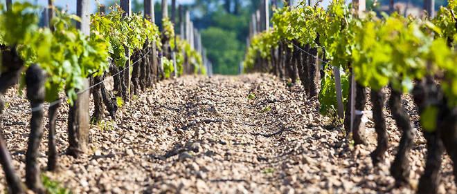 France, Gironde (33), Pomerol, le vignoble, la vigne au printemps, taille guillot simple, sol de graves