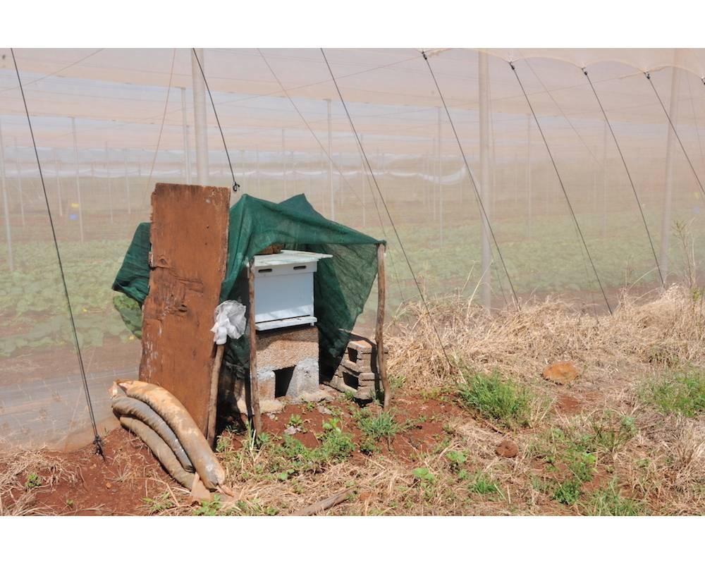 L'exploitation de Pure Farming - La ruche installée, les abeilles œuvrent à la pollinisation des tomates sous serre.  ©                   SYLVIE RANTRUA